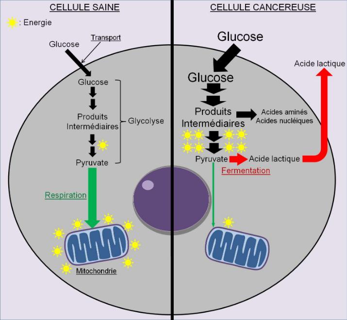 métabolisme cellule tumorale d'après Gaston Naessens